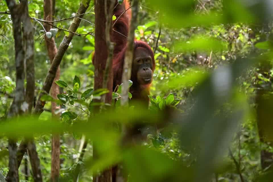 Borneo-Orangutan-Wildlife