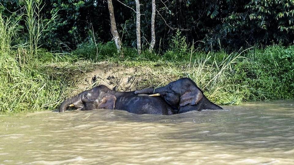Pygmy-Elephants-Sabah-Wildlife