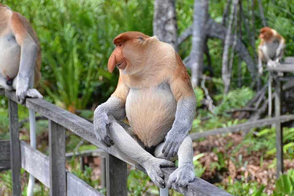 proboscis-monkey-Sabah