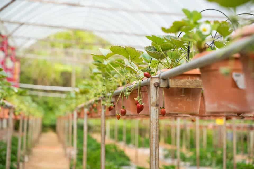 Big-Red-Strawberry-Farm-Cameron-Highlands