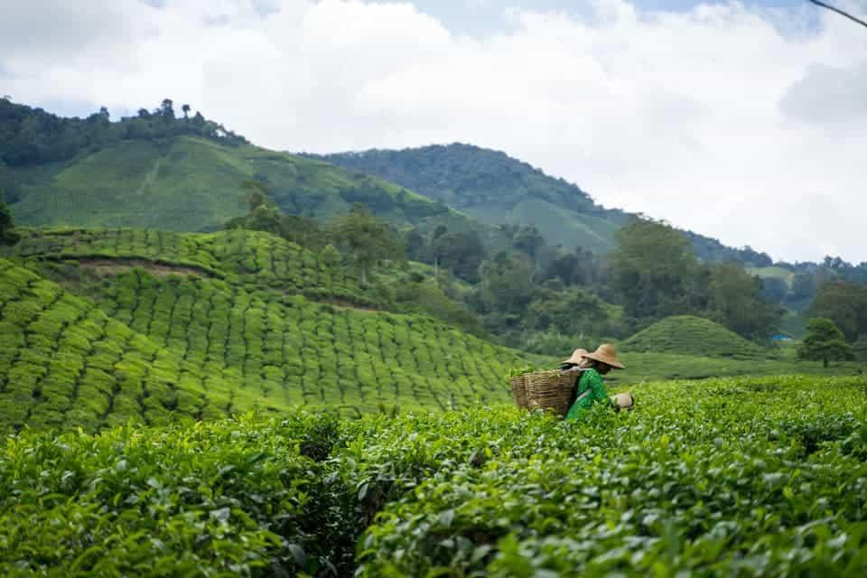 Cameron-Highlands-Tea-Plantation