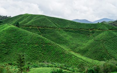 The PERFECT Cameron Highlands Day Trip Itinerary!