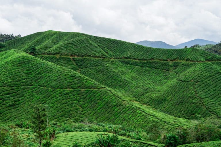 Featured-Cameron-Highlands-Day-Trip