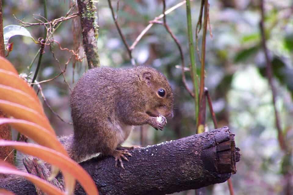 Mounta-Kinabalu-Squirrel