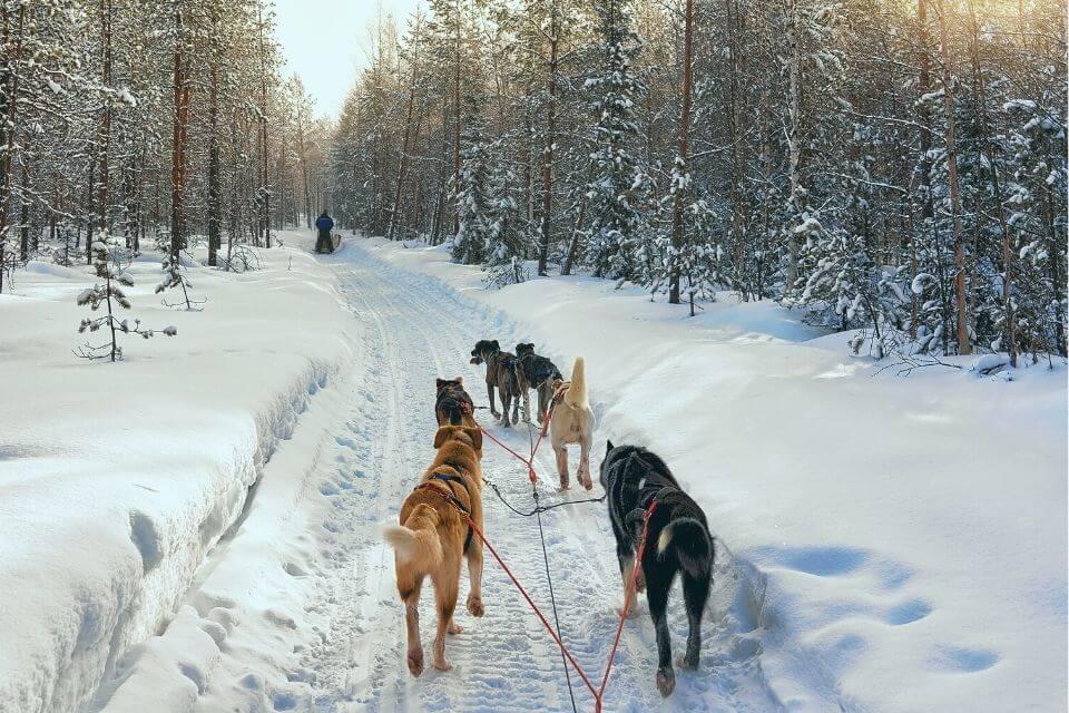 Dog Sledding in Banff in Winter