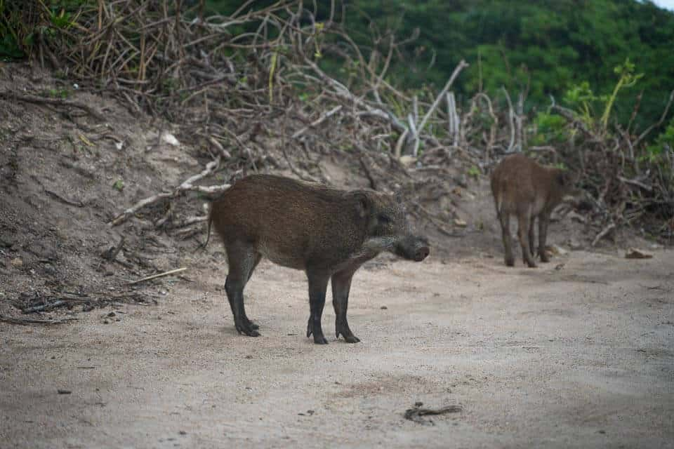 Boars At Cape D'Aguilar